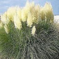 Cortaderia Selloana - White Pampas Grass 50 Seeds